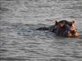 Hippo in St Lucia Estuary: by addison90, Views[53]