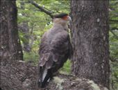 One of three Crested Caracaras that frequented our campsite at Fitz Roy: by alpiner84, Views[543]