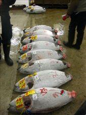 Tuna auction, Tsukiji Fish Market: by amy_palfreyman, Views[251]
