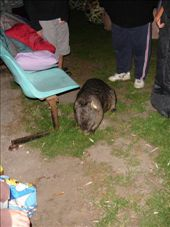 A wombat enjoys popcorn prior to the movie starting.: by an_oliver, Views[126]