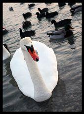 Swan: by andreadom, Views[134]