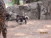 Ostriches.  The first of many animals we saw getting frisky.: by anealis314, Views[60]