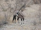 Oryx in Etosha. One of Bec's favourite animals: by bec-simon, Views[458]