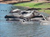 Hippos climbing over each other in the shallows. Plenty of them in Chobe too: by bec-simon, Views[129]