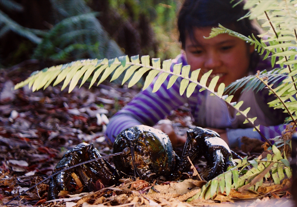 Giant Freshwater Crayfish  Threatened Species Link