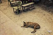 Dogs are everywhere India, this one wasn't able to find shade like his mates.: by bryceworld, Views[73]
