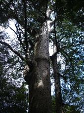 Kauri tree, one of the real biggies.: by candjmcshane, Views[90]