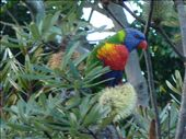 A rainbow lorikeet. And yes, we are (not very) closet twitchers.: by candjmcshane, Views[137]