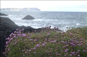 Heather is one of the symbols of Ireland covering extensive hillside: by cinnamon_friday, Views[94]