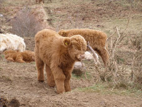 Baby highland cow - photo#26