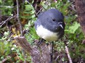 New Zealand robin, my fave: by clare-tamea, Views[38]