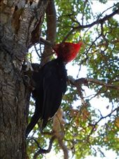 Magellanic woodpecker, lots round here: by clare-tamea, Views[13]