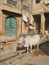 One of the many cows in the street, Jaisalmer fort, Jaisalmer.: by clarinette, Views[141]