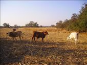 four cattles in a maize filed in Musengezi area (near  Harare) in Zimbabwe: by comak, Views[175]