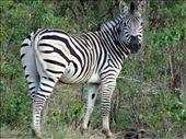 Zebra: by davidt, Views[22]