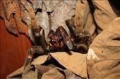 Tarantula, Panama style: by elis82, Views[149]