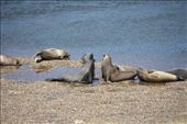Sea lions squaring off: by elis82, Views[90]