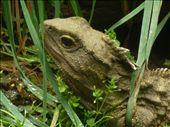 Un Tuatara...animal natif de la NZ et inchange depuis des millions d'annees...le plus pres specimen du temps des dinosaures...Celui-ci c'est Henri et il a 4000 ans!: by emilpeace, Views[87]