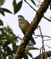 White-throated tyrannulet, near Cuenca: by fieldnotes, Views[96]