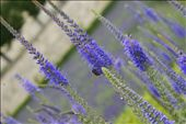 This picture captures the majesty and beauty of Lavender in the Louvre Gardens –: by gildeddreams, Views[64]