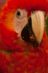 Las Guacamayas -The Scarlet Macaw: by holdensontheroad, Views[38]