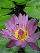 A nice close up of a lotus just because it looks so pretty: by homeless_harry, Views[132]