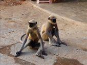 Hanuman Langur monkeys are very gentle: by ivanci, Views[108]