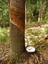 Rubber tree producing natural monomer: by ivanci, Views[1249]