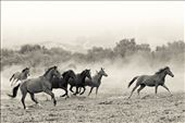 Rescued wild mustang mares enjoy a moment of wild abandon!: by jacquelinedeely, Views[31]
