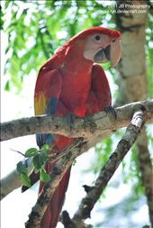 A young Scarlet Macaw.  La Union, Honduras. : by jaz, Views[131]