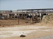 Lots of cattle feed lots out here: by johnkeith, Views[123]
