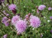 Thistles on the shore of Lake Michigan: by johnkeith, Views[117]