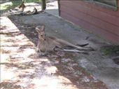 Can you see the Joey legs hanging out of the pouch???: by justin_and_leigh, Views[223]