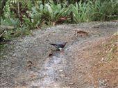 Native NZ wood pigeon...mmm, looks tasty!: by justinzani, Views[133]