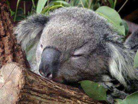 http://aphs.worldnomads.com/la_gitana_pequena/2631/Koalas.jpg