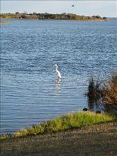 our day in mandurah - a pretty bird in the estuary: by leah, Views[119]