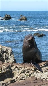 fur seal, Kaikoura: by manu-sean, Views[127]