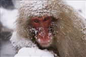 Mother Snow Monkey: by margie70, Views[967]
