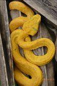 Most poisonous snake in Costa Rica. Found in the jungle of Cahuita.: by margitpirsch, Views[823]