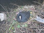 A cute little coot in its lovely nest on the river. The boat man told us it was probably the Dad and its sitting on 17 eggs!: by mazystar, Views[83]