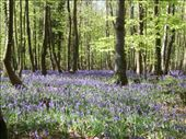Bluebells for as far as they eye can see.: by melissa, Views[96]