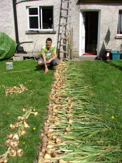 Harvesting the onions from the garden, all 400 of them.