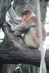 ...and the Proboscis Monkey is deep in thought. If I'm not mistaken, this one was calculating his tax returns at the time this photo was taken.: by nikkiisaac, Views[51]