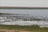 Kasachstan - birdwatching in Tengiz Nationalpark: by niviosabine, Views[84]