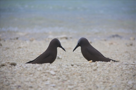Love at first sight. Two white-capped noddy playing the flirting game with each other