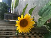 A sunflower shining brightly in the street, as flowers Melbourne grow better: by pastmemoriespresencetime, Views[136]