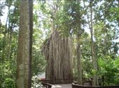 Cathedral Fig tree... A bit hard to fit in all at once!: by pistachio_tumbleweed, Views[437]