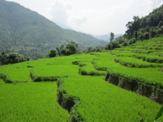 Rice paddies - g...Hot And Humid Climate