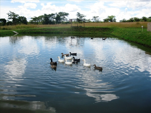 Integrated fish farm ducks in the fish pond fish for Fish farming ponds