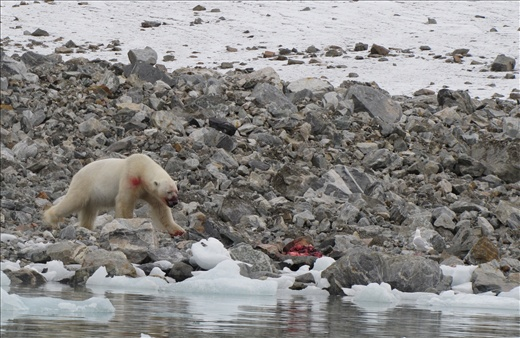 a polar bear spotted in the midst of dining on seal, Magdalenefjord, Spitsbergen